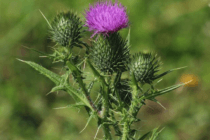 Milkthistle2
